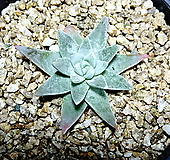 화이트그리니27|Dudleya White gnoma(White greenii / White sprite)