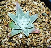 화이트그리니28|Dudleya White gnoma(White greenii / White sprite)