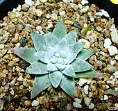 화이트그리니29|Dudleya White gnoma(White greenii / White sprite)