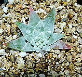 화이트그리니30|Dudleya White gnoma(White greenii / White sprite)