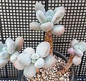 성미인(자연군생한몸)|Pachyphytum oviferum