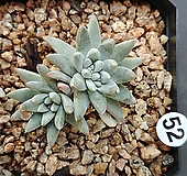 화이트그리니3두|Dudleya White gnoma(White greenii / White sprite)