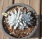 자연군생 화이트그리니7두 분지중|Dudleya White gnoma(White greenii / White sprite)