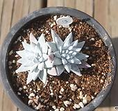 자연군생 화이트그리니4두|Dudleya White gnoma(White greenii / White sprite)