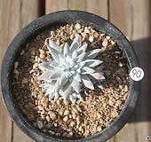 자연군생 화이트그리니6두|Dudleya White gnoma(White greenii / White sprite)