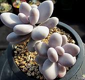오비포럼 11-455|Pachyphytum oviferum