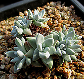 화이트그리니 8두(뿌리튼튼) 11-467|Dudleya White gnoma(White greenii / White sprite)