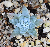 화이트그리니 694|Dudleya White gnoma(White greenii / White sprite)