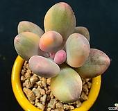 오비포럼 금_r382|Pachyphytum oviferum