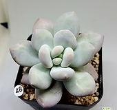 후레뉴금 목대 Pachyphtum cv Frevel