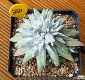 목대 화이트그리니 (10두분지중) 자연군생|Dudleya White gnoma(White greenii / White sprite)