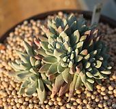 화이트그리니 자연군생 931117|Dudleya White gnoma(White greenii / White sprite)