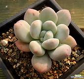 묵은둥이 목대 후레뉴 Pachyphtum cv Frevel