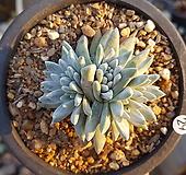 자연군생 화이트그리니 6두|Dudleya White gnoma(White greenii / White sprite)