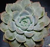 후레뉴교배종51 Pachyphtum cv Frevel