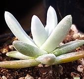 546.화이트그리니|Dudleya White gnoma(White greenii / White sprite)