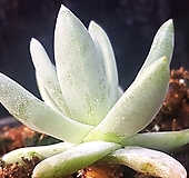 547.화이트그리니|Dudleya White gnoma(White greenii / White sprite)
