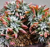 화이트그리니목대군생(30두쯤분지중) 1117-2359|Dudleya White gnoma(White greenii / White sprite)