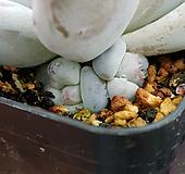 후레뉴(목대자구)1 Pachyphtum cv Frevel