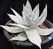 브리트니-35|DUDLEYA pulverulenta
