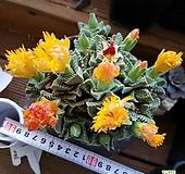 사해파묵은둥이 Faucaria tigrina