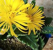 사해파금11201 Faucaria tigrina