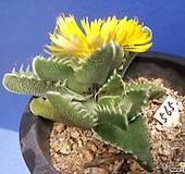 565 사해파한몸 Faucaria tigrina