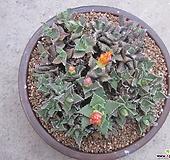 묵은 사해파 합식 Faucaria tigrina