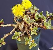 사해파왕대품2097 Faucaria tigrina
