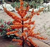 비타민나무 플러그묘 [예약주문] 