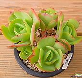 둥근잎비취후리데 적심군생|Echeveria Peach Pride