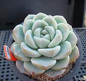 아이시그린12-286|Echeveria Ice green