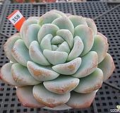 아이시그린12-358|Echeveria Ice green