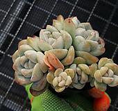 아이시그린33|Echeveria Ice green