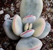 방울복랑금(대형종) Cotyledon orbiculata cv variegated