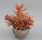 火祭1211|Crassula Americana cv.Flame