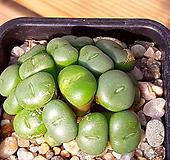 코노피튬 미누툼 Conophytum minutum (17두한몸) X121104 Conophytum