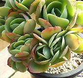 둥근잎비취후리데 (12두)(철화) 7.29|Echeveria Peach Pride