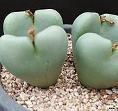 브랜덤(대형종)코노피튬 Conophytum