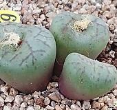 미니멈코노피튬 Conophytum