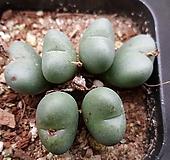 코노피튬 Conophytum