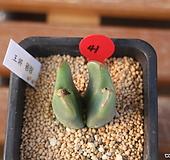 코노피튬 왕장(컷팅) Conophytum