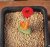 코노피튬 화차(컷팅) Conophytum