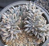 是千代田之松缀化(제뿌리)1217|Pachyphytum compactum var. glaucum