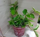 새집증후군 자일렌 제거 우수 식물 호야 포름알데히드 제거 고무나무|Hoya carnosa