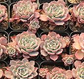라우렌시스특가(랜덤) Echeveria Laulensis
