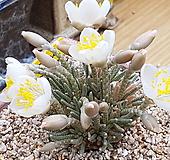 알스토니 씨앗 10립(화이트) from Africa -재 입고 Avonia quinaria ssp Alstonii