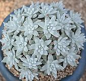 화이트그리니 군생(35두이상)|Dudleya White gnoma(White greenii / White sprite)