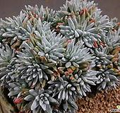 화이트그리니목대군생65두이상 0113-883|Dudleya White gnoma(White greenii / White sprite)