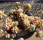 라울0114|Sedum Clavatum
